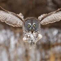 Great Grey Owl Facts | Anatomy, Diet, Habitat, Behavior