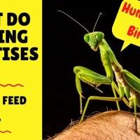 What Do Praying Mantis Eat | Praying Mantis Diet