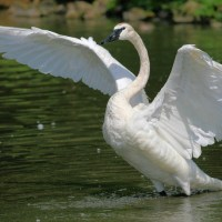 Trumpeter Swan Facts | Anatomy, Diet, Habitat, Behavior