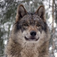 Eurasian Wolf Facts | Most Powerful Wolf Species