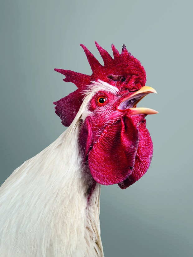 Chickens can be awesome pets!
