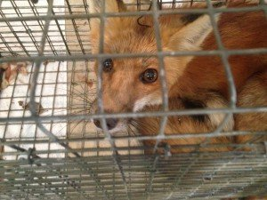 Red Fox Trapped