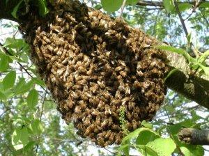 honey bee swarm in cumming