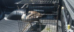 goose in cage