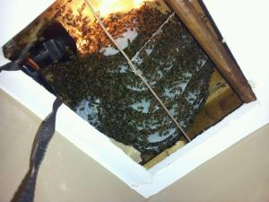 honey bee hive cut out