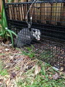 Possum Trapping Johns Creek