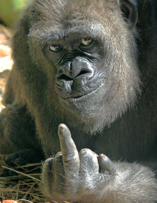 gorilla pierdere în greutate)