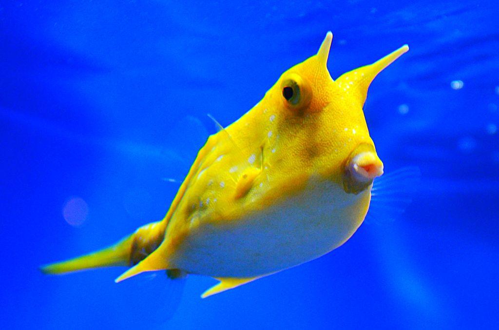 https://i2.wp.com/animalworld.com.ua/images/2015/July/Akva/Ostraciidae/Ostraciidae-6.jpg