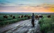 Коровы слушают диджериду