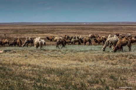 Стада верблюдов