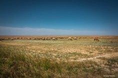 Стадо верблюдов, юг Казахстана
