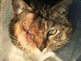 Loulou a été signalé errant avec une grave blessure à l'oeil. Une bénévole l'a trappé le jour même et le soir il avait déjà été opéré par notre vétérinaire. Loulou coule aujourd'hui des jours heureux.