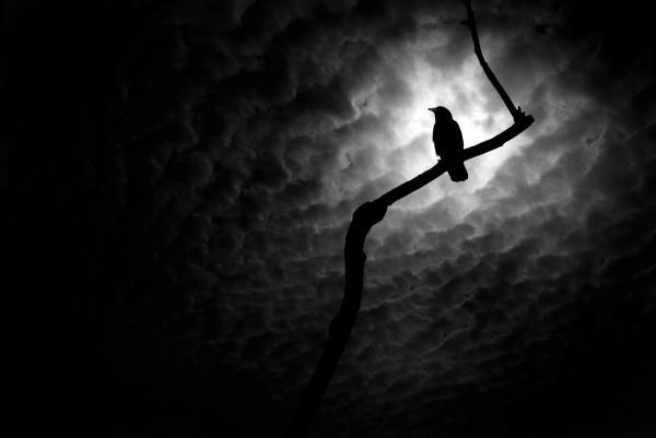 raven-in-profile-marius-sipa1