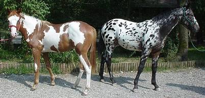 Poulains paint overo et appaloosa léopard