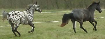 Juments appaloosa léopard et quarter horse blue roan