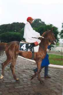 pur sang-arabe cheval 3