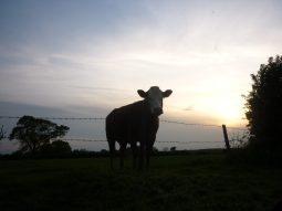 Cow Hertfordshire