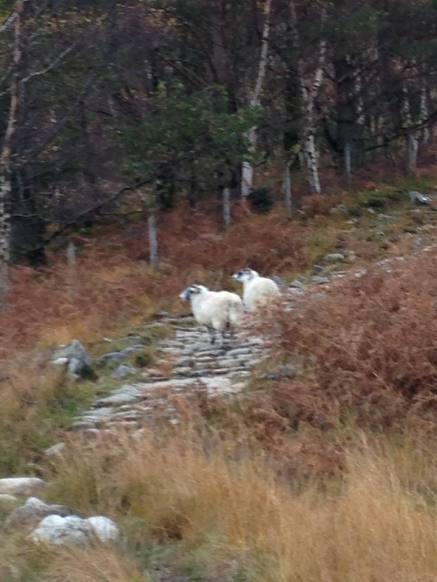 Sheep Glen Nevis