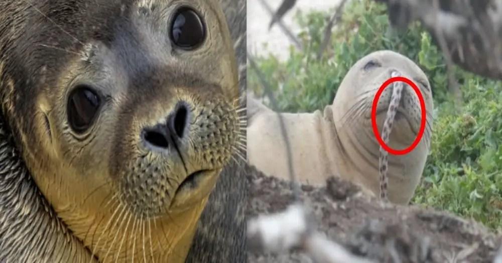 Hawaiian Seal's New Trend? Sea eels drilling into the seal's nostrils! !