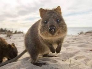 World Most Photogenic Living Creature! Super Adorable Setonix Brachyurus ---- Quokka!