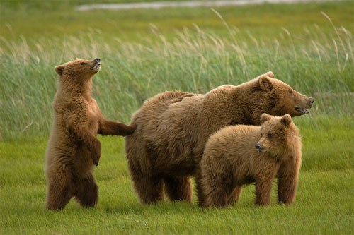 Grizzly_Family_Hallo_Bay_Katmai.jpg