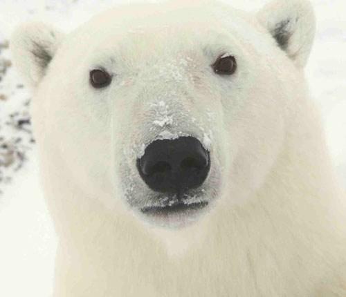 Polar_Bear_face.jpg