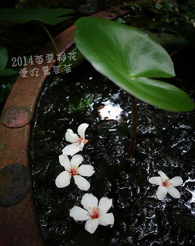2014油桐花_014.jpg