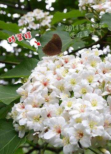 2014油桐花_034.jpg