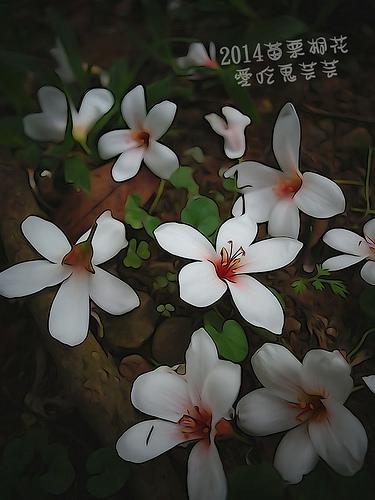 2014油桐花_100.jpg