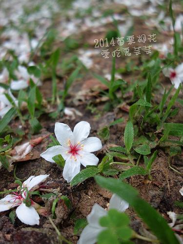 2014油桐花_108.jpg