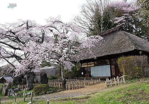 長野縣賞櫻:古樹垂櫻、水月公園、橫河川賞櫻