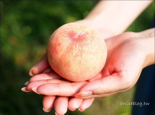 岡山摘白桃