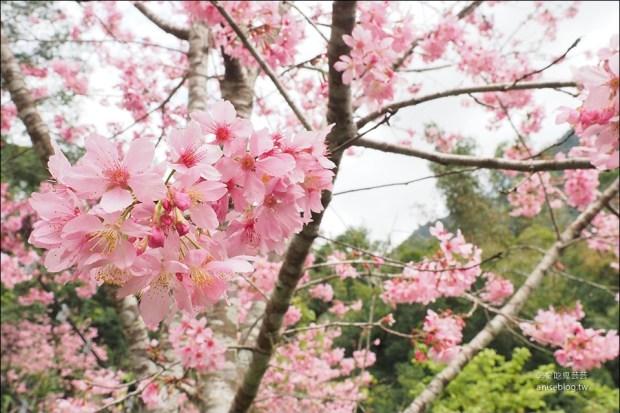 阿里山春櫻 | 迷糊步道、和平餐飲店