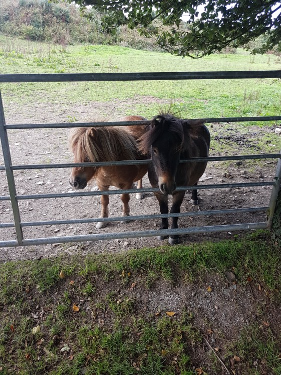 The Ponies at Lower Campscott Farm
