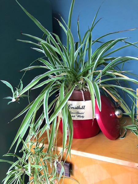na met plant