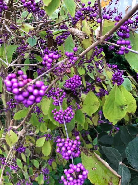 Paarse bessen-hygge herfst