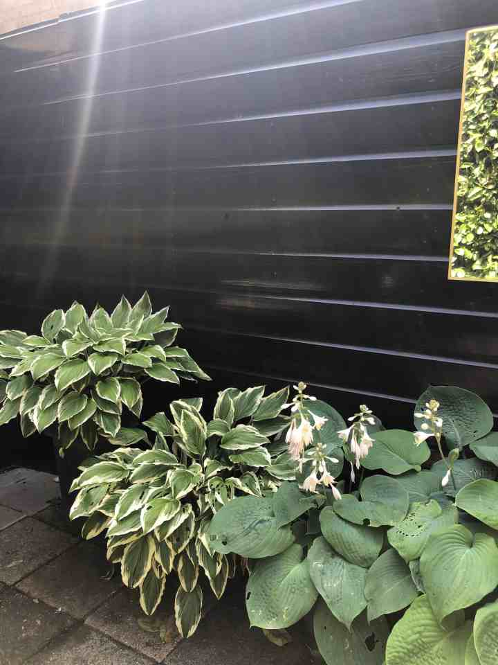 Hosta's in potten