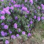 Rhododendron, Clematis and other garden news