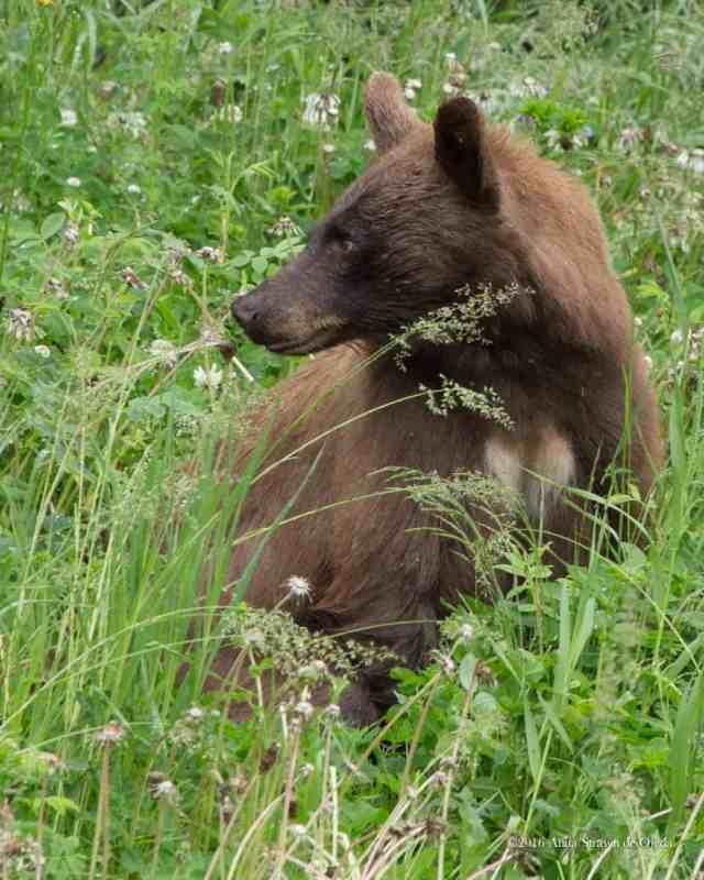 bears-2