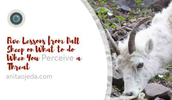 What do you do when you perceive a threat? I spent some time observing Dall Sheep, and this is what I learned from them. #dallsheep #denalinationalpark #danger #spiritualselfcare #selfcaresunday #spiritualwholeness #improveyourphotography #write28days #blogger #instagrammer #photogrpahy #DSLR #camera #selfcare