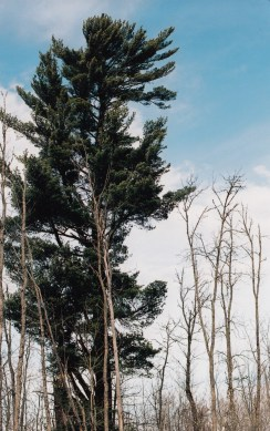 white pine along highway 1
