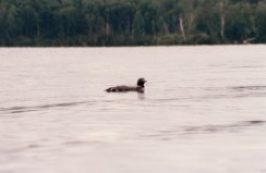 Northern MN and common loon habitat