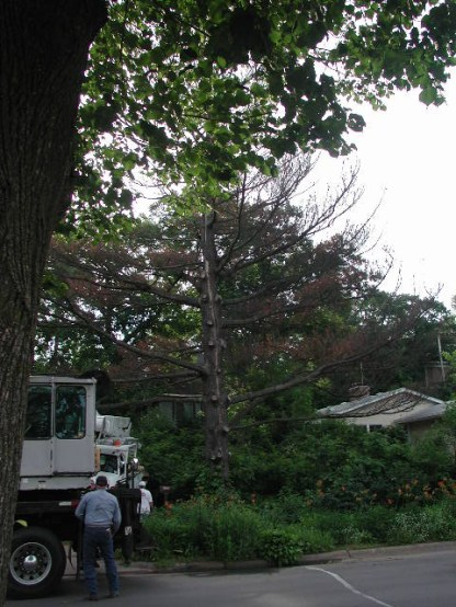 Bringing in the equipment / white pine removal / photo