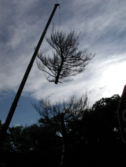 Lifting the crown / white pine removal / photo