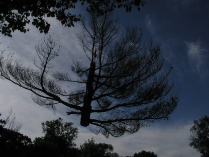 coming in for a landing / white pine removal / photo