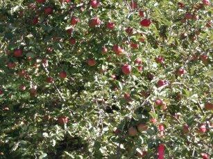 apples / photo