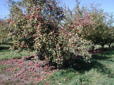 apple tree 127 / photo