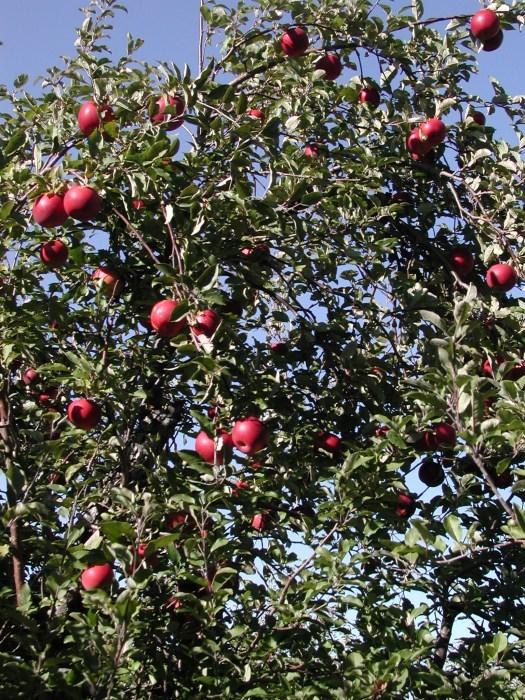 Cortland apple tree / photo