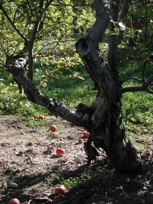 Old Apple Tree 139 / photo