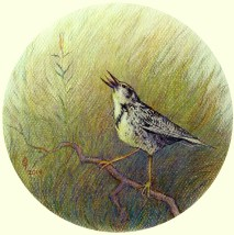 meadow_lark_drawing